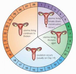 What is menstrual cycle?