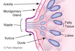 labeled breast glands and ducts