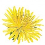 Dandelion - natural breast enlargement