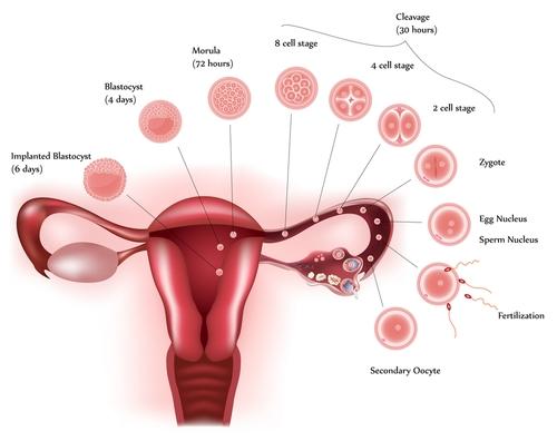 Ovulation - implantation