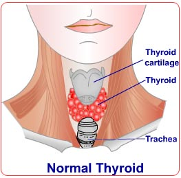 Normal thyroid