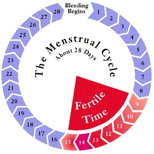 Menstrual cycle - fertile days