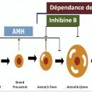 Hormone anti-mullérienne