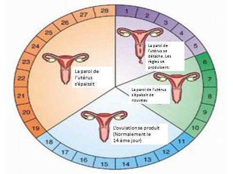 Endocrinologie du cycle menstruel