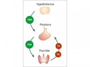 Hypothalamus-Pituitaire-Thyroïd