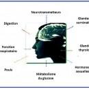 Hormones du stress